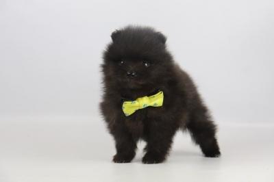 Pomeriaan-puppy-te-koop-teef-2311-4.jpg