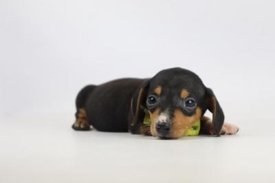 Pups-Teckel-tekoop-reu-2023-1.JPG