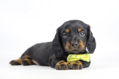 Teckel-langharig-puppy-reu-1963-2.JPG