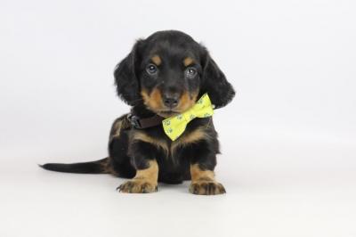 Teckel-langharig-puppy-reu-2024-1.JPG