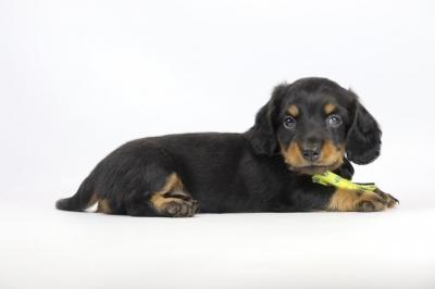 Teckel-langharig-puppy-reu-2024-2.JPG