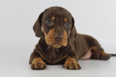dashchund puppies for sale