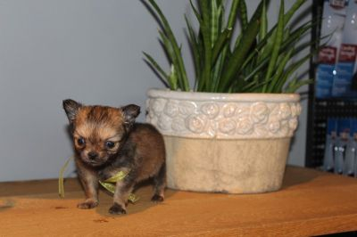 adoption_chihuahua_3225.jpg