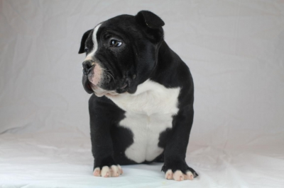 american bullies for sale