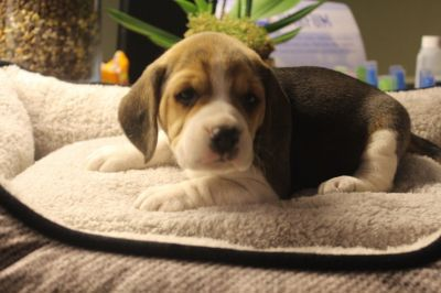 achat Beagle