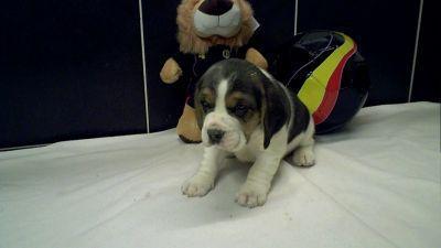 buy beagle