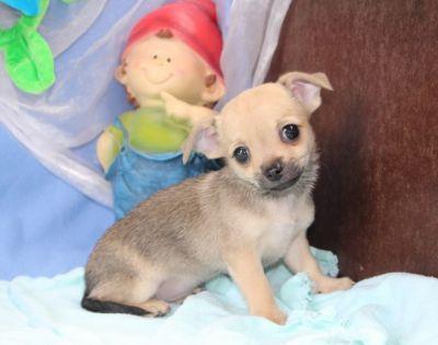 bebe-chihuahua-a-vendre-9-1-14.jpg