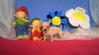 chihuahua-toy-a-vendre-9-1-14-1.jpg