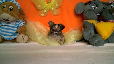 chihuahua-toy-a-vendre-9-1-14.jpg