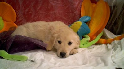 golden-retriever-puppies.jpg