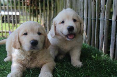 golden-retriever-pups-particulier.jpg
