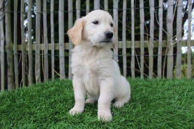 golden-retriever-pupstekoop.jpg
