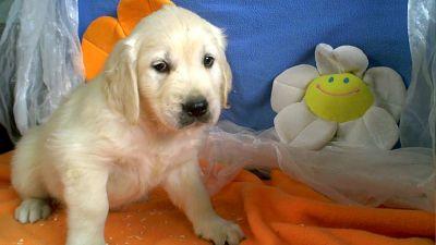 golden_retriever_puppy_9226.jpg