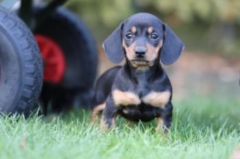 Kortharige-Dwerteckel-Pups-Te-Koop-Teef-2163-1.Jpg