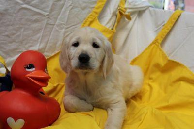 puppies_golden_retriever_1015.jpg