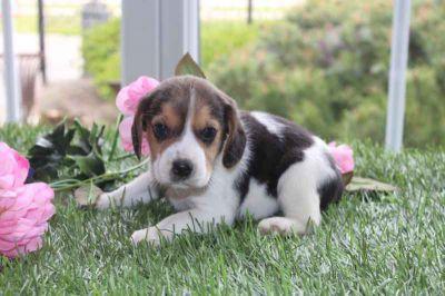 Prijs van een Beagle