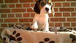 Beagle-mannetje-8957-2.jpg