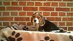 Beagle-meisje-8990.jpg