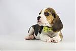 Beagle-pup-koop-teef-2006-1.JPG