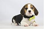 Beagle-pup-koop-teef-2006-2.JPG