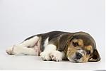 Beagle-reu-1985-1.JPG