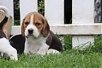 Beagle-reu-2045-1.JPG
