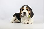 Beagle-reu-2391-1.JPG