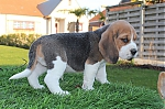 Beagle-reu-7333-1_28Kopie29~0.jpg