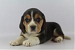 Beagle-reu-7557-2.JPG