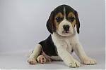 Beagle-reu-7655-1.JPG