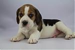 Beagle-reu-7811-1.JPG