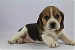 Beagle-reu-7812-1.JPG