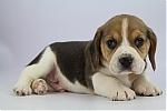 Beagle-reu-7812-2.JPG