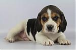 Beagle-reu-7819-1.JPG