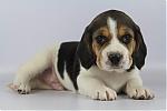 Beagle-reu-7819-2.JPG