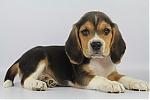 Beagle-reu-7942-1.JPG