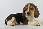 Beagle-reu-7960-1.JPG