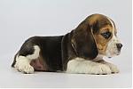 Beagle-reu-8068-1.JPG