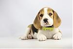 Beagle-te-koop-reu-1978-1.JPG