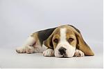 Beagle-te-koop-reu-1978-2.JPG