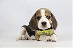 Beagle-te-koop-reu-1994-1.JPG