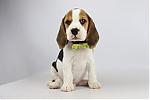 Beagle-te-koop-reu-1995-1.JPG
