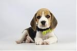 Beagle-te-koop-reu-1999-1.JPG