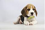 Beagle-te-koop-reu-1999-2.JPG