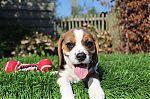 Beagle-teef-1023-1_28Kopie29.jpg