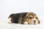 Beagle-teef-2000-2.JPG