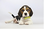 Beagle-teef-2066-1.JPG