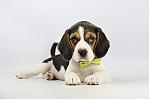 Beagle-teef-2066-2.JPG
