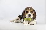 Beagle-teef-2378-1.JPG