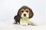 Beagle-teef-2378-2.JPG